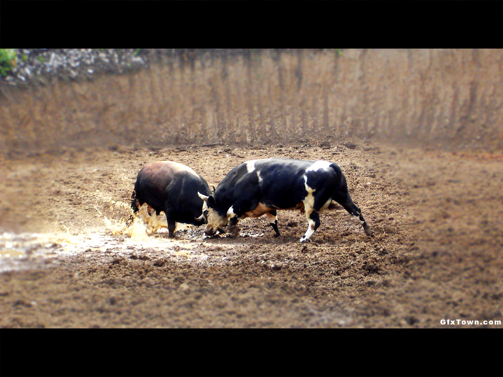 Bullfight Bosnia