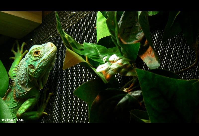 Green Iguana
