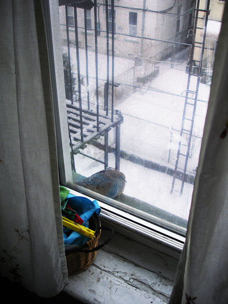 Pigeon Winter Window